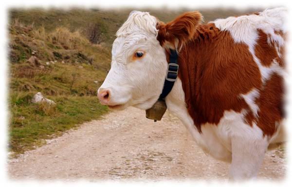 Bild mit Kuh als Synonym für Colostrum Erfahrungen.